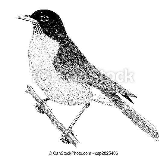 American Robin Drawing American Robin Csp2825406