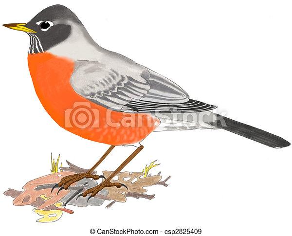 American Robin Drawing American Robin Turdus
