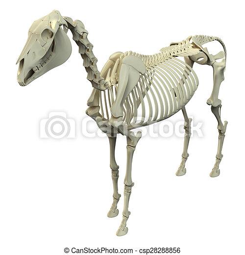 Horse Skeleton - Horse Equus Anatomy - isolated on white - csp28288856