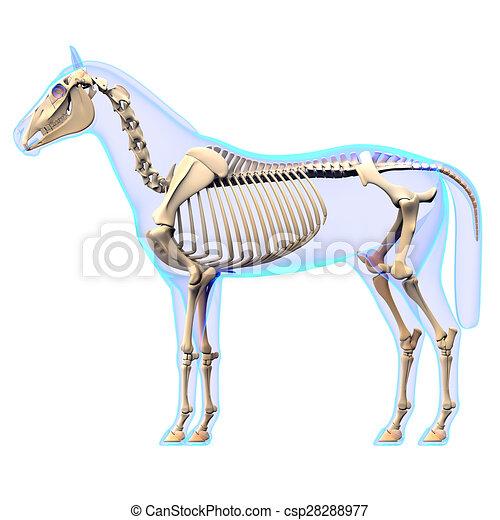 Horse Skeleton Side View - Horse Equus Anatomy - isolated on white - csp28288977