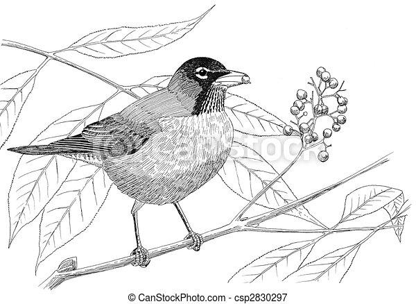 American Robin Drawing American Robin Csp2830297
