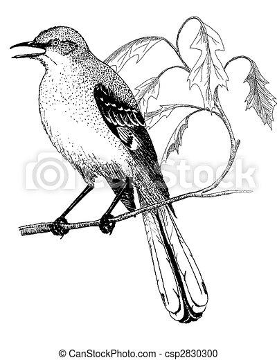 Stock Illustration of Northern Mockingbird - Mimus polyglottus ...
