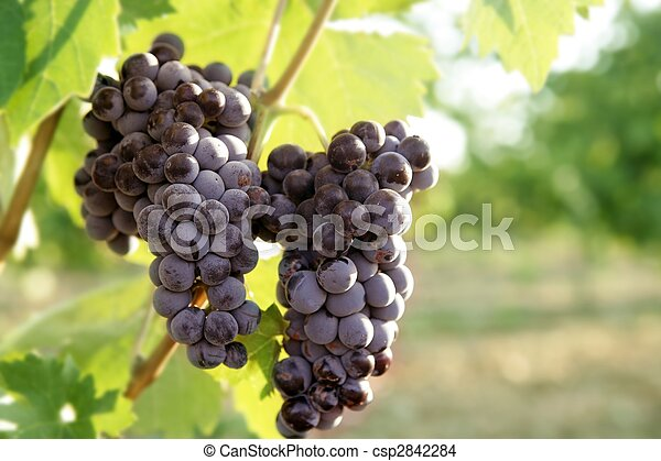 Agriculture wine red grapefruit field - csp2842284