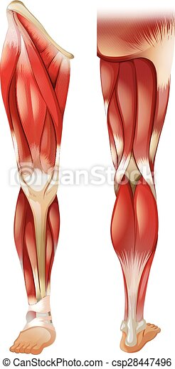 Leg muscle - csp28447496