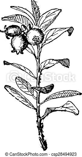 Huckleberry, vintage engraving. - csp28494923