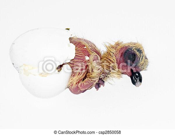 Pigeon Squab - csp2850058