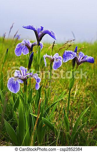 Blue flag iris flowers - csp2852384