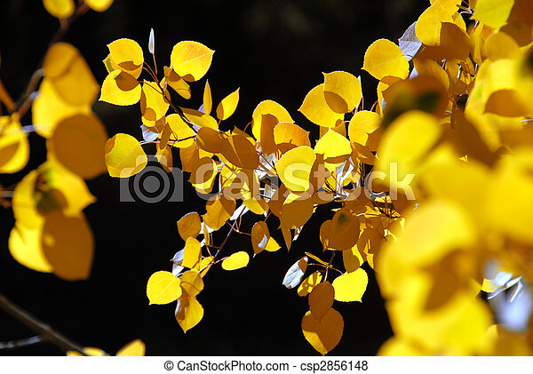 Branch of Yellow Aspen Leaves - csp2856148