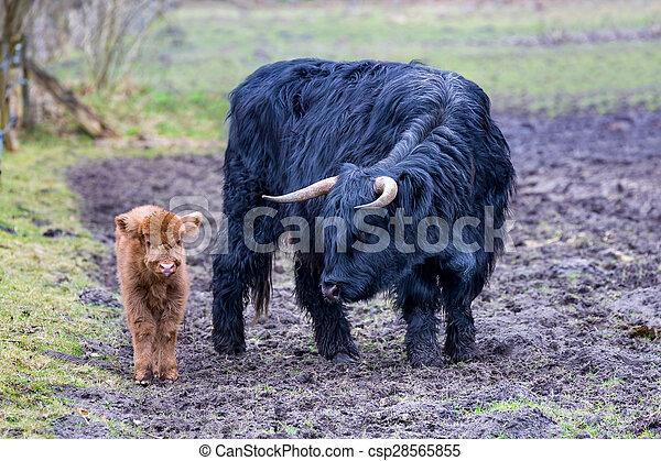 Black mother scottish highlander cow and brown calf