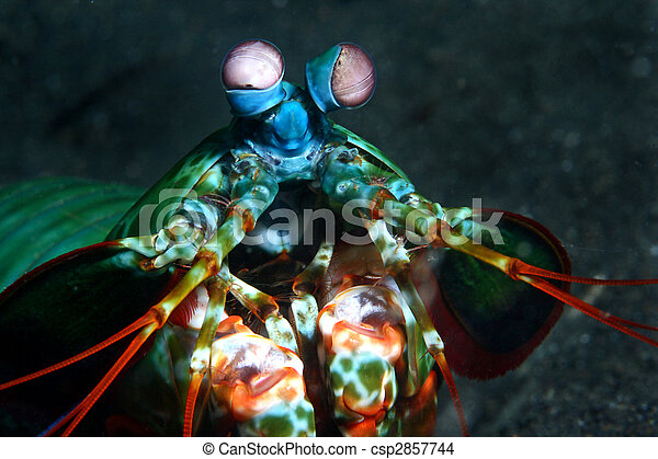 smashing peacock mantis shrimp - csp2857744