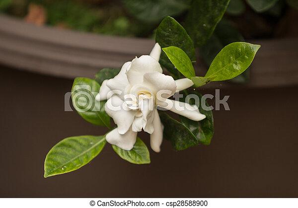 Gardenia flower, Gardenia jasminoides, blooms in spring