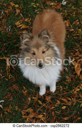 Sheltie puppy - csp2862272