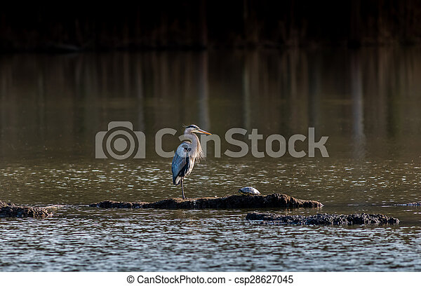 Chesapeake Bay Great Blue Heron - csp28627045
