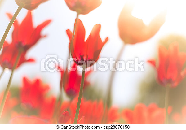 Beautiful red tulips on field in spring. - csp28676150