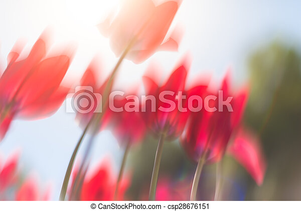 Beautiful red tulips on field in spring. - csp28676151