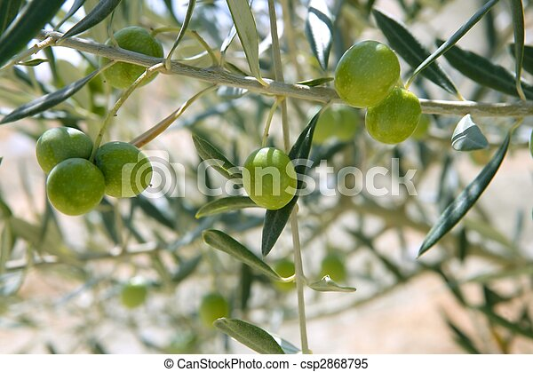 Country olive young trees hill field - csp2868795
