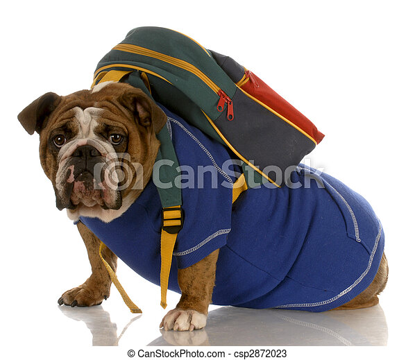 english bulldog wearing blue sweater with backpack on white background - csp2872023