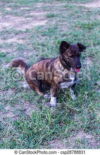 thai stray dog in lawn