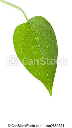 Leaf green and fresh isolation  - csp2880334