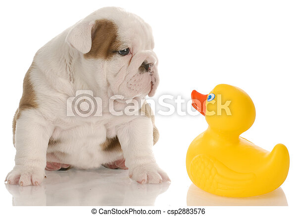 dog bath time - english bulldog puppy sitting beside a yellow rubber duck - 4 weeks old - csp2883576