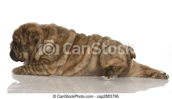 red brindle english bulldog puppy stretched out with reflection on white background - 4 weeks old - csp2883795