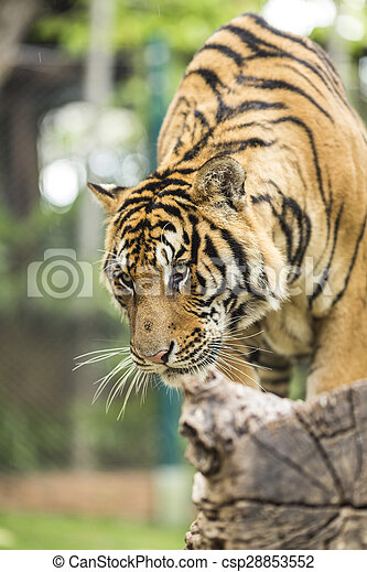 Close up Tiger in jungle the danger animal.