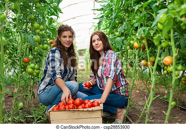 Young smiling agriculture woman worker in front and colleague in back and a crate of tomatoes in the front, working,harvesting tomatoes in greenhouse.