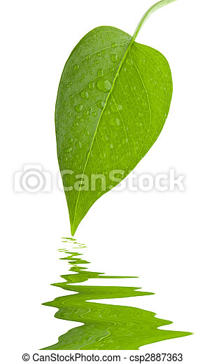 Leaf green and fresh isolation - csp2887363
