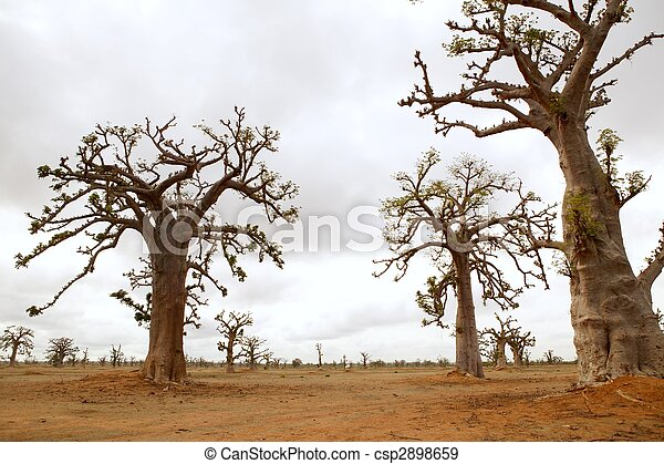 African Baobab tree on baobabs trees field on cloudy  day - csp2898659