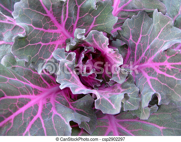 Brassica Oleracea Background - csp2902297