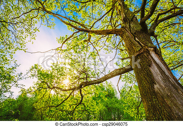 Spring Sun Shining Through Canopy Of Tall Oak Trees. Upper Branc