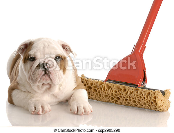 english bulldog puppy laying beside a sponge mop - csp2905290