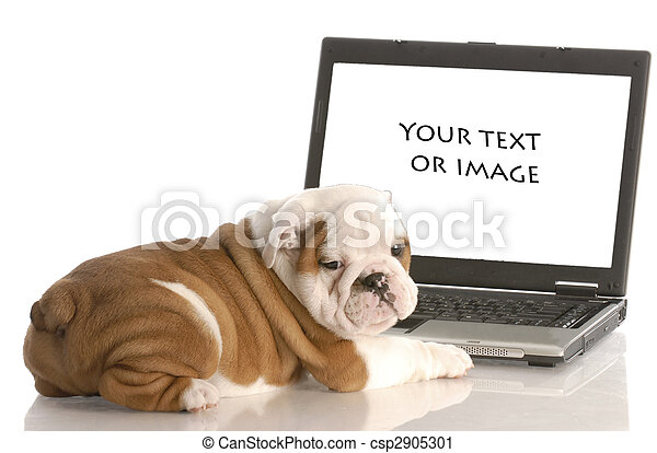 english bulldog puppy working on computer - add your own text or image - csp2905301