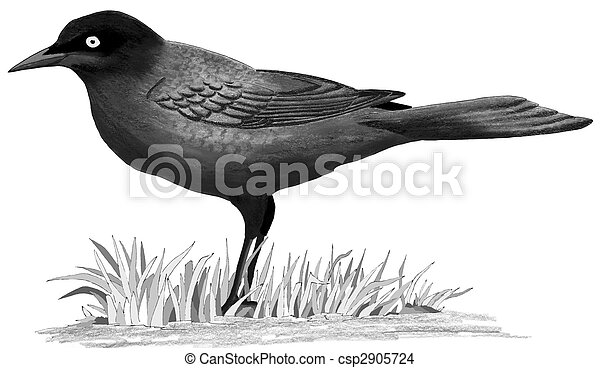 Common Grackle - csp2905724
