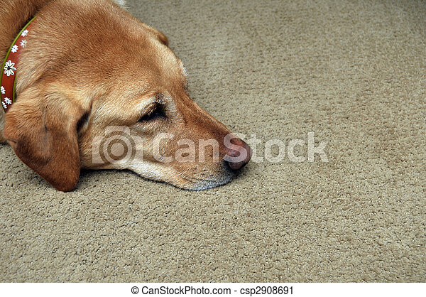Sad Yellow Lab Laying On Carpet - csp2908691
