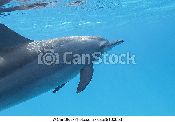 single dolphin in tropical sea, underwater