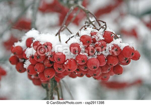 mountain ash berries  - csp2911398