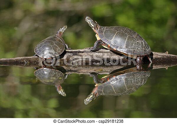 Pair of Midland Painted Turtles Basking on a Log