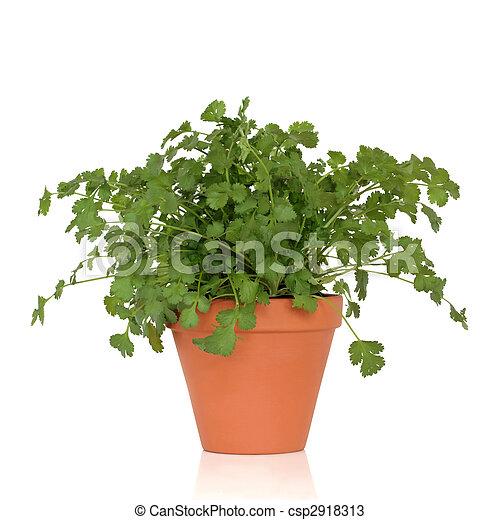 photos de coriandre aromate plante croissant terre cuite pot csp2918313 recherchez. Black Bedroom Furniture Sets. Home Design Ideas