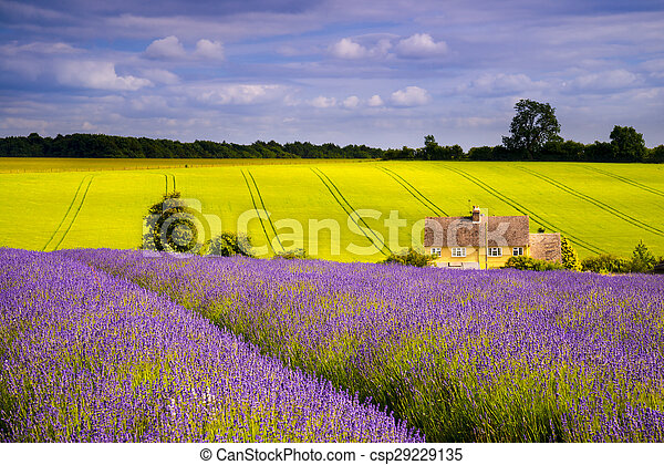 Field of lavender under blue skies
