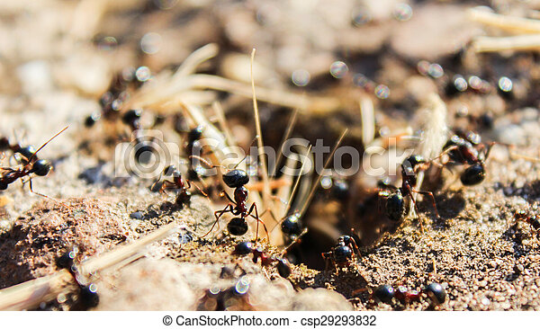 tireless giant black ants govern their world - csp29293832