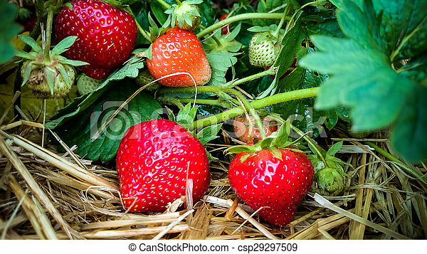 Strawberry Field with Ripe strawberries