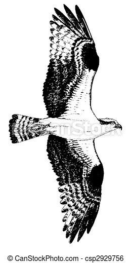 ミサゴの画像 p1_11