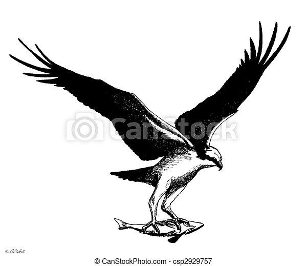 Osprey - csp2929757