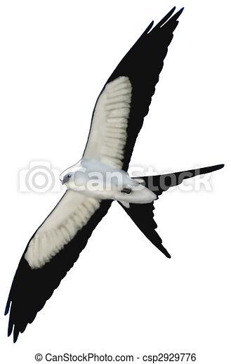 Swallow-tailed Kite                        - csp2929776