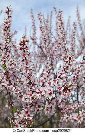 Almond flower trees field in spring season - csp2929821
