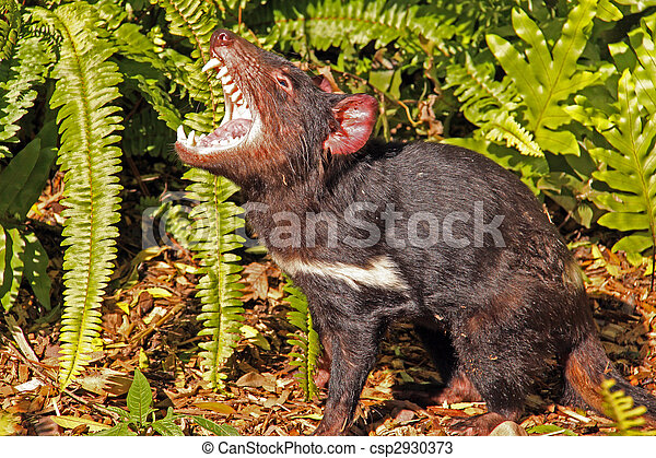 Tasmanian Devil growling - csp2930373