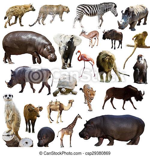 állhatatos, állatok, más, víziló, afrikai - csp29380869