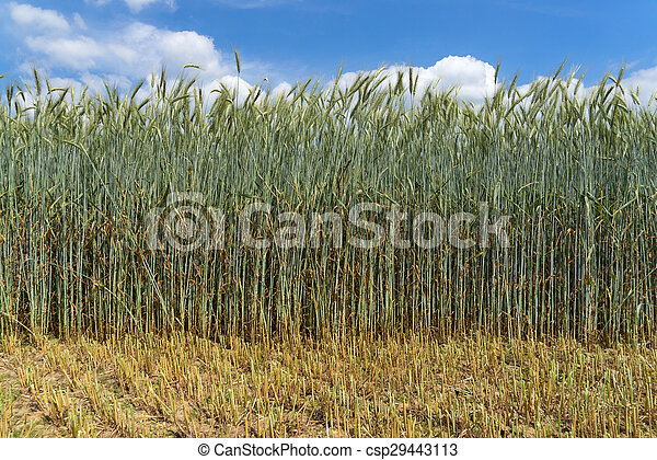 Green rye with very long stalk