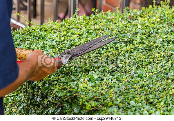 Gardener trimming the tree.